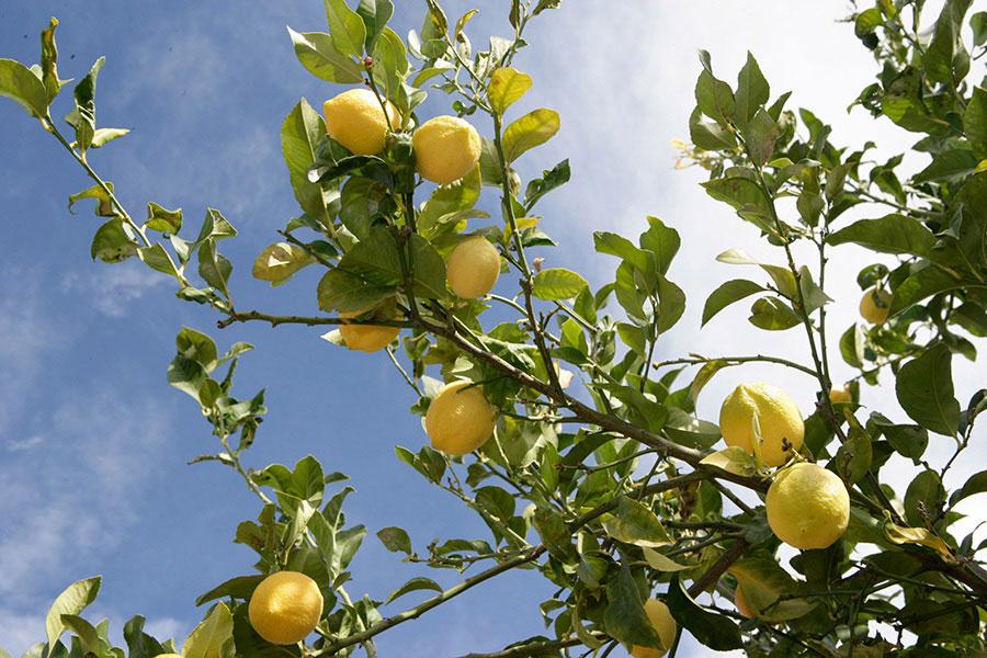 limones en el campo de cultivo de naranjas monzó