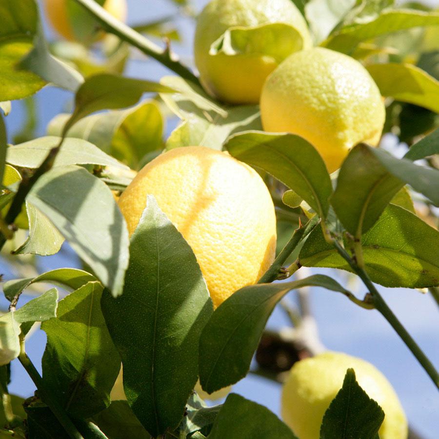 limones en el árbol de cultivo