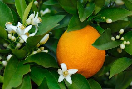 Naranjo con azahar y fruto
